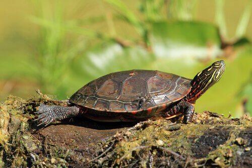 Tartaruga dalle orecchie rosse prende il sole
