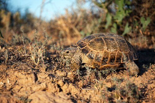 Caratteristiche della tartaruga di Horsfield
