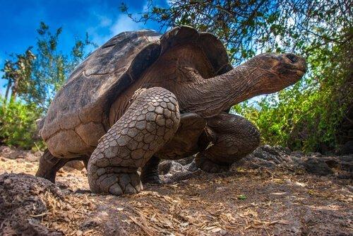 Tartaruga gigante tra animali più lenti
