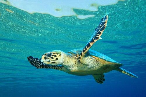 Tartaruga marina nuota con le pinne aperte