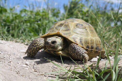una tartaruga russa cammina sul terreno arido
