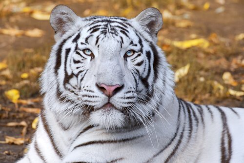 una tigre bianca vista da vicino