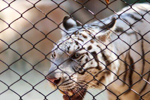 Tigre del bengala bianca dietro una rete metallica