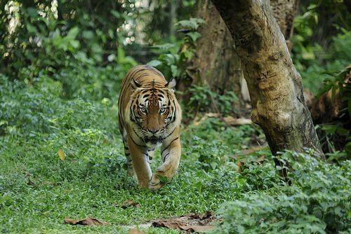Tigre della Malesia cammina nella giungla