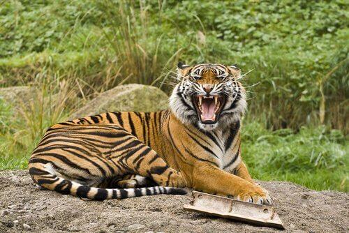 5 sottospecie di tigri che vi conquisteranno
