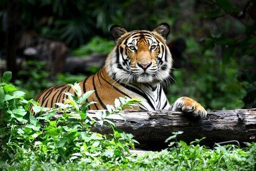 Tigre sdraiata nella foresta