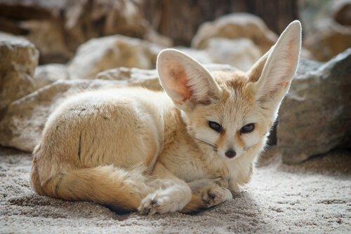 Animali con le orecchie più grandi