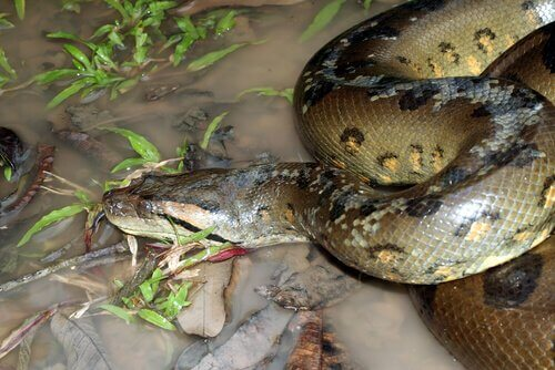 Anaconda in acqua