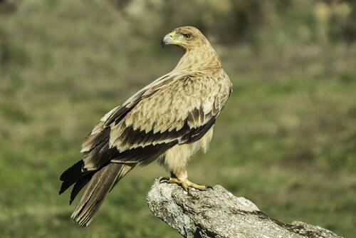 Aquila iberica