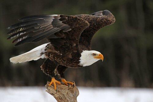 Aquila testabianca