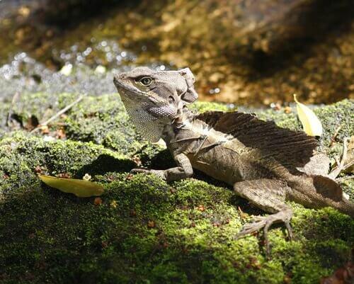 un'iguana nera su una roccia prende il sole