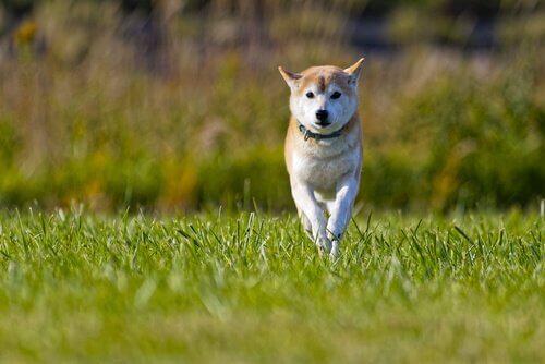 uno Shiba Inu corre sul prato