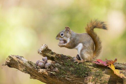 uno scoiattolo accumula ghiande