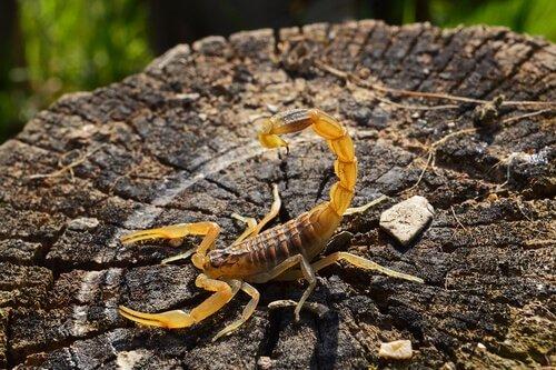 Scorpione giallo fermo sul ceppo bruciato di un tronco