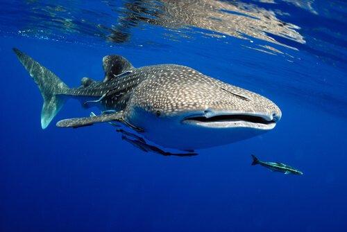Il pesce più grande del mondo percorre più di 20.000 chilometri