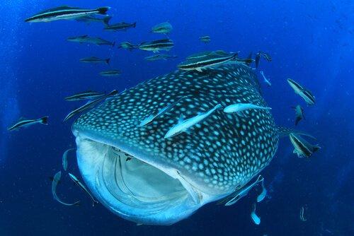 Squalo balena nuota con altri pesci attorno