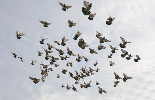 Stormo di piccioni in cielo