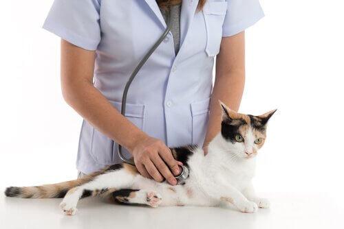 Gravidanza della gatta e veterinario che la visita
