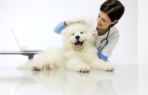 veterinaria controlla cucciolo bianco peloso