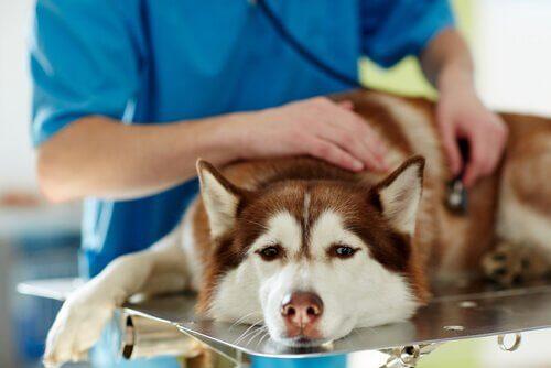 Veterinario visita husky malato