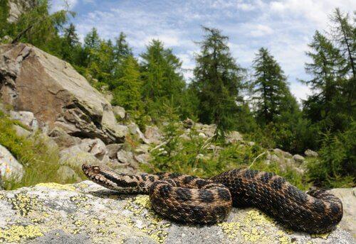 vipera delle Alpi su roccia