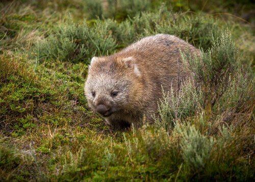 Vombatide tra fauna dell'Australia