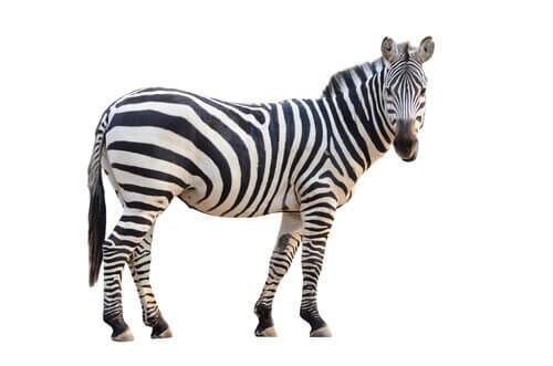 Zebra strisce bianche e nere