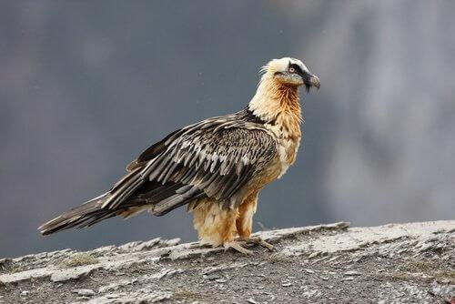 Conosciamo il gipeto o avvoltoio barbuto