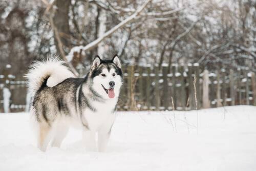 Alaskan Malamute in mezzo alla neve
