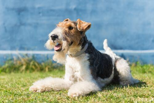 Fox Terrier sull'erba