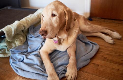 Cane anziano sdraiato sulla coperta pavimento