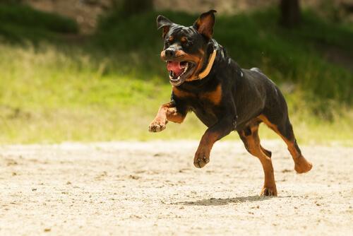 Rottweiler che corre per strada