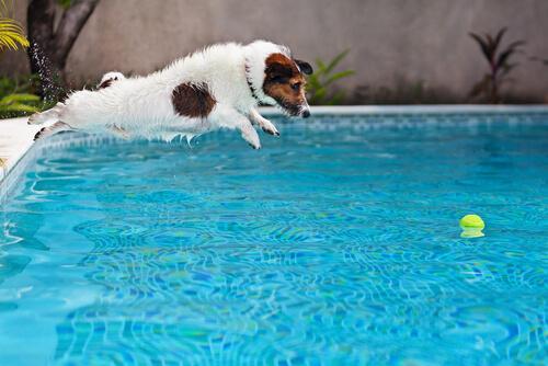 Cane che si tuffa in piscina per prendere palla