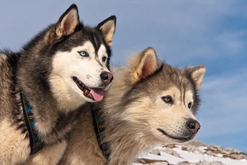 Differenze tra l'Alaskan Malamute e il Siberian Husky