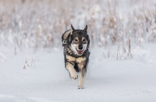 Elkhound norvegese