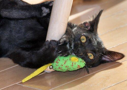 Gatto Bombay gioca con topo verde