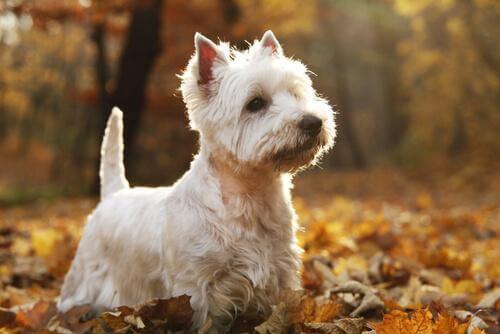West Highland White Terrier in mezzo alle foglie