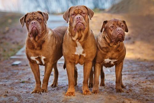 Dogue de Bordeaux cani