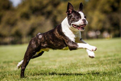Boston Terrier corre nel prato