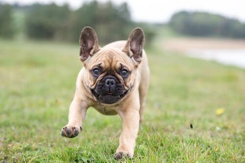 Bulldog francese che corre nel prato