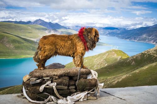 Mastino tibetano sulla roccia
