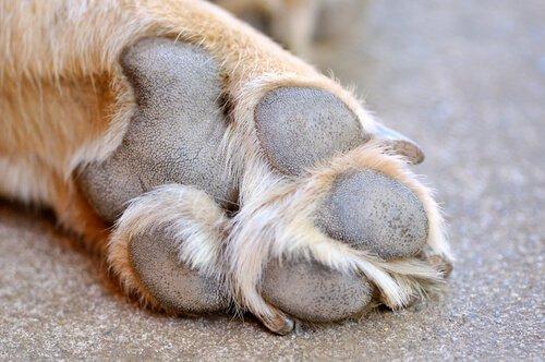 Come curare le ferite ai polpastrelli dei cani