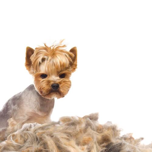 Perdita di pelo nei cani: cause e trattamento