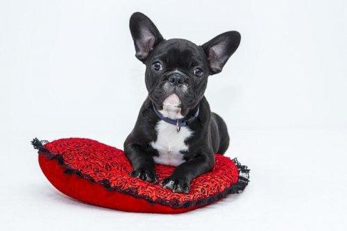 Cane sopra cuscino rosso