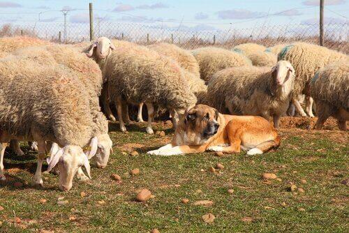 Cane pastore e pecore