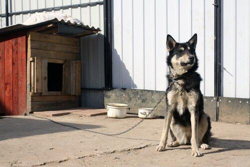 Cane legato con cuccia