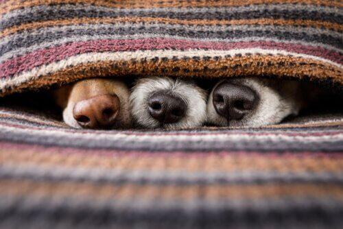 Musi di cane sotto le coperte