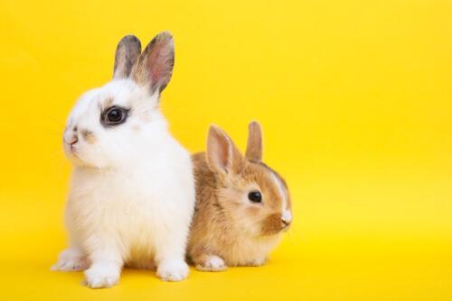 Caratteristiche e come prendersi cura del coniglio nano
