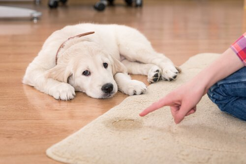 Come pulire l'urina di cane