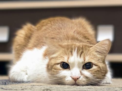 Come sapere se il vostro gatto ha la febbre